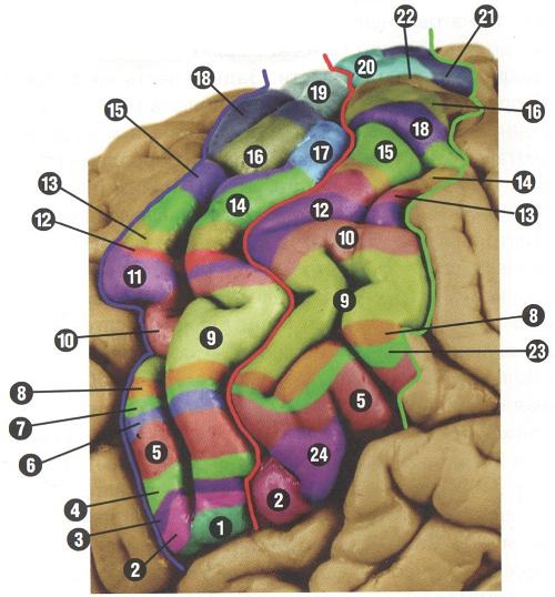 Sensorimotor centers of the cerebral cortex of the human brain (according to scientific studies)